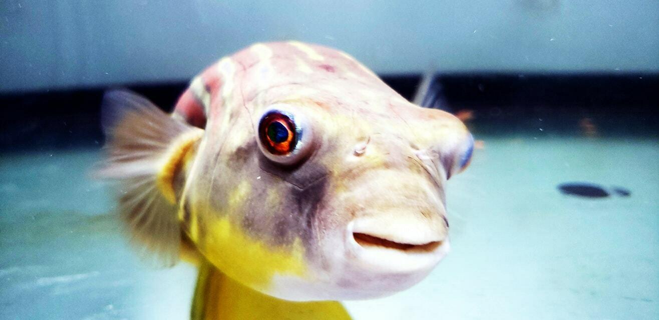 Tetraodon lineatus - (Fahaka Puffer)