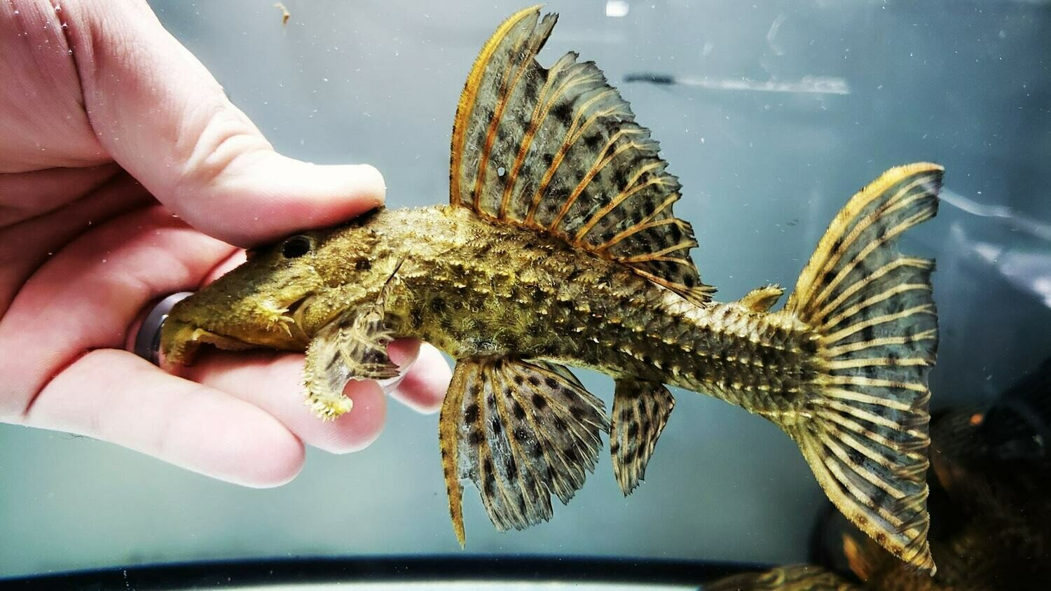 Pseudacanthicus spinosus - L096/L160 (Spiny Monster/Coffee and Cream Cactus Pleco)