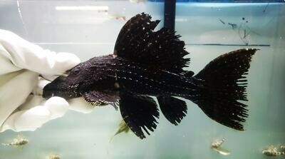 Pseudacanthicus sp. - L097 (Polka Dot Cactus Pleco)