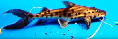 Brachyplatystoma filamentosum - (True Piraiba Catfish)