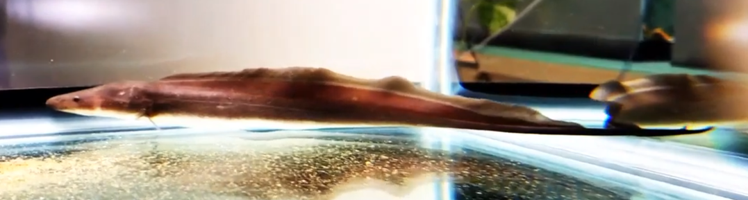 Gymnarchus niloticus - (Aba Aba Knife fish)