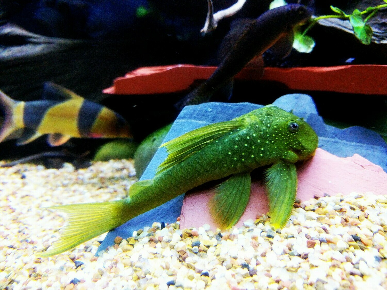 Hemiancistrus subviridis - L200 (Green Phantom Pleco)