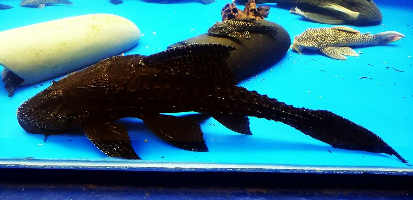 Acanthicus adonis (Polka Dot Lyre Tail Pleco)