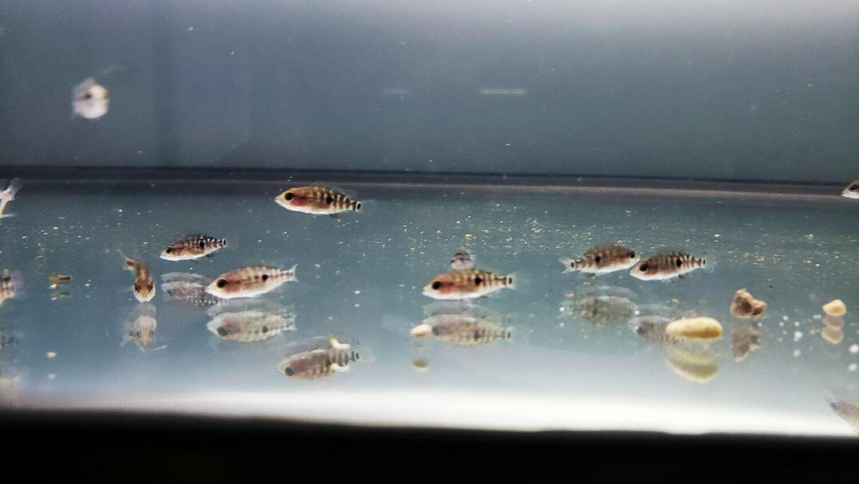 Parachromis dovii Nicaragua - (Wolf/Dovii Cichlid)