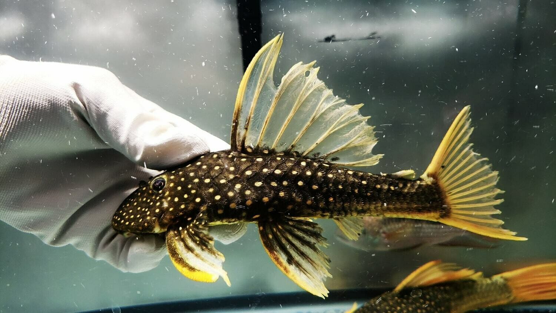Hypostomus luteus Phase II (Golden Sailfin Pleco)
