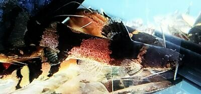 Microglanis Iheringi - (Bumblebee Catfish)