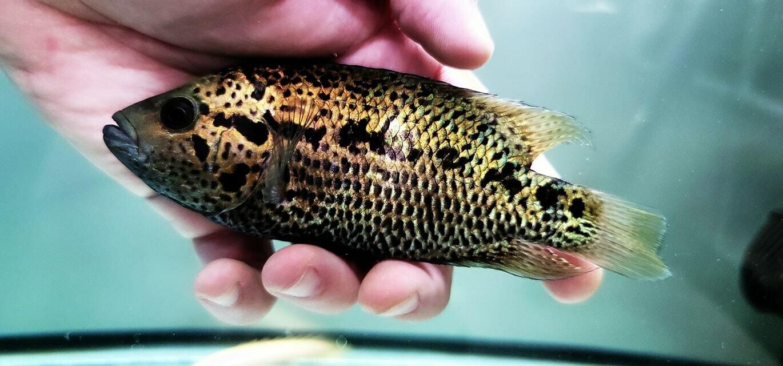 Parachromis loisellei - (Loiselle Cichlid)