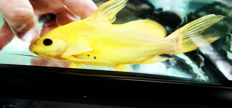 Synodontis Nigrita Yellow - (False Upside-down Catfish)
