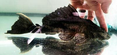 Pterygoplichthys scrophus - (Chocolate, Alligator, Rhino Pleco)