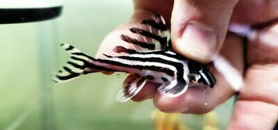 Hypancistrus zebra L046 (Zebra Pleco)