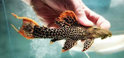 Pseudacanthicus leopardus - L600/LDA073