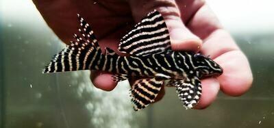 Hypancistrus sp. L333 - (Black and White King Tiger)