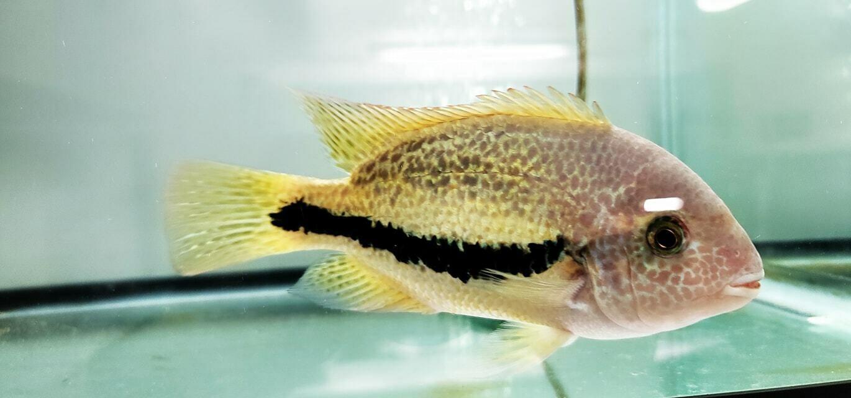 Vieja Bifasciatum (Bifa, Twoband, Red-spotted Cichlid)