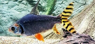 Semaprochilodus insignis - (Flagtail)