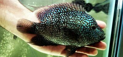 Herichthys carpintis - (Blue Escondido Texas Cichlid)