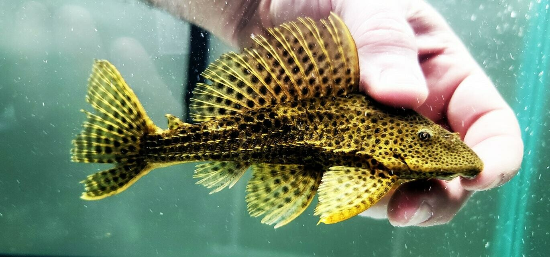 Pterygoplichthys weberi - (Ranger Pleco)