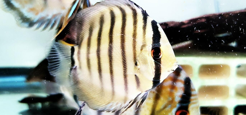 Symphysodon aequifasciatus axelrodi - (Brown Discus)