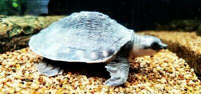 Carettochelys insculpta - (Fly River/Pig Nose Turtle)