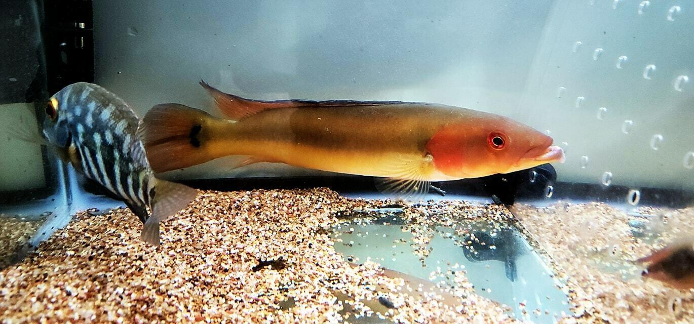 Red Tapajos Pike Cichlid - (Crenicichla sp. Tapajos I)