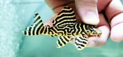 Hypancistrus sp. L333 - (Yellow King Tiger)