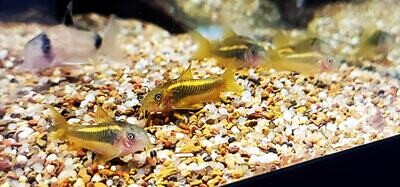 Corydoras (ln7) sp. (Cw010) (Gold Laser Cory)