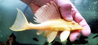 Pterygoplichthys gibbiceps Albino L083/L165 - (Sail Fin Pleco)