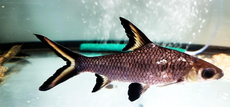 Balantiocheilos melanopterus - (Bala Shark)
