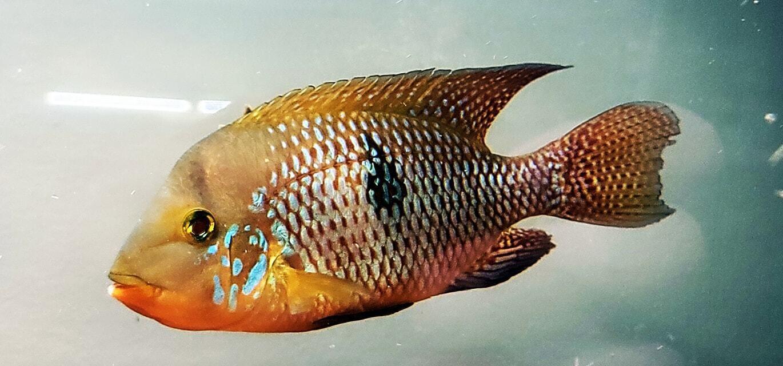 Geophagus brasiliensis - (Pearl Cichlid)