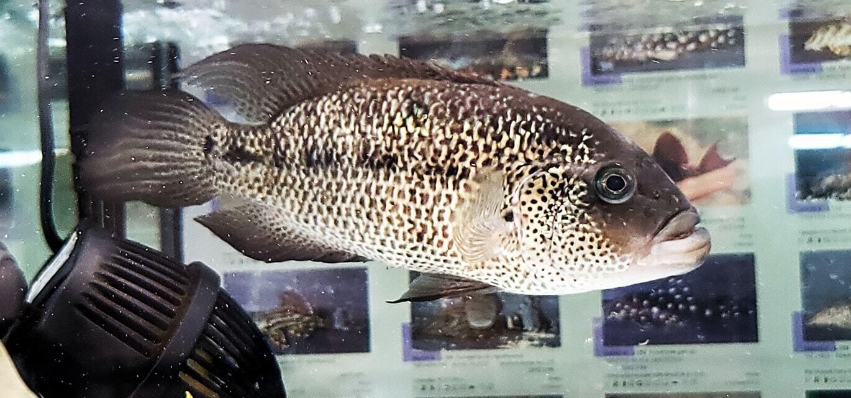 Parachromis motaguensis - (Red/Gold Motaguensis)