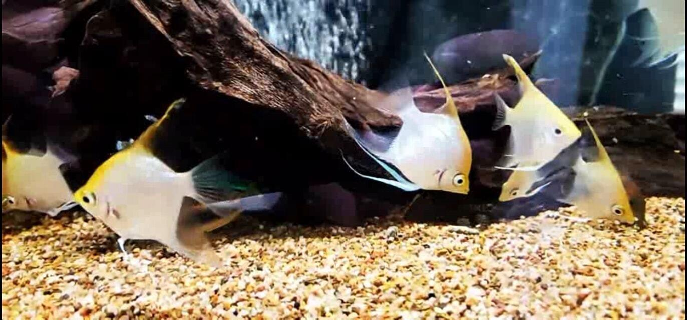 Pterophyllum sp. (Captive Bred Angelfish)