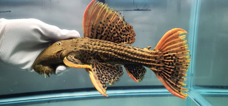 Pseudacanthicus pirarara L25 - (Super Red)