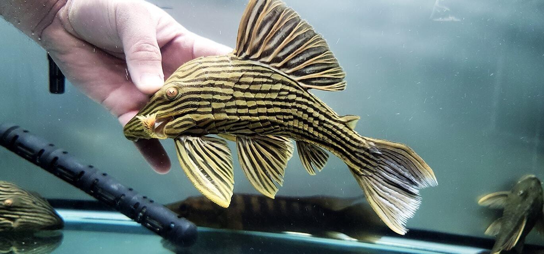 Panaque cf. armbrusteri L027 - (Goldline Royal Pleco)
