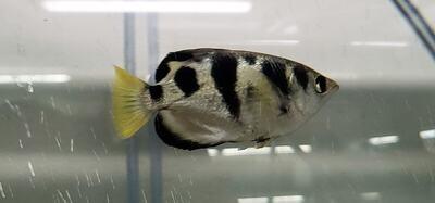 Toxotes jaculatrix - (Banded Archerfish)
