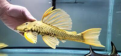 Hypostomus luteus Phase III (Golden Sailfin Pleco)