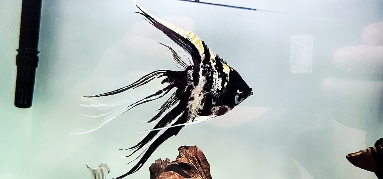 Marble Veil Angel - (Veiltail Angelfish)