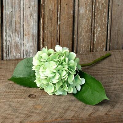 Hydrangea - Light Green