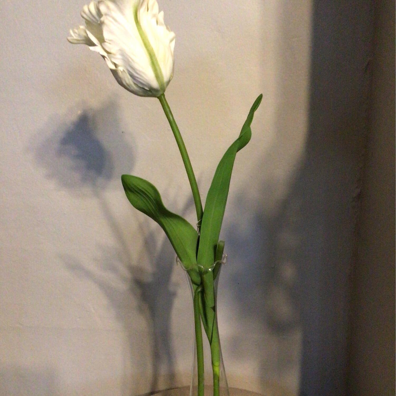 Parrot Tulip (White)