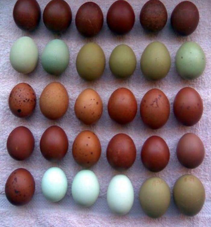 Free Range Organic Chicken Eggs