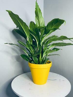 Giant Spathiphyllum