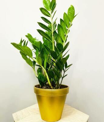 Zamioculcas Zamiifolia (ZZ)