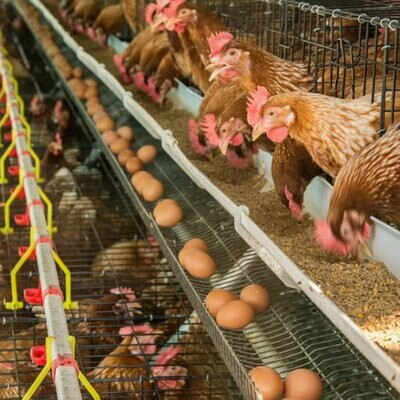 Poultry - Egg Production Business