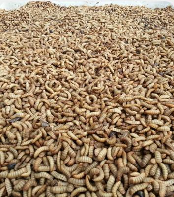 Живой белок из личинки мухи Черная львинка, стоимость за 1 литр продукции.