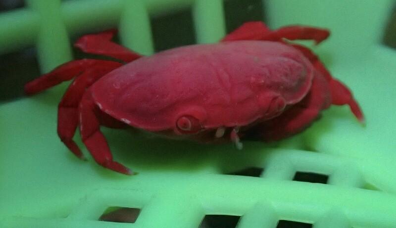 Strawberry Crab (S Size)