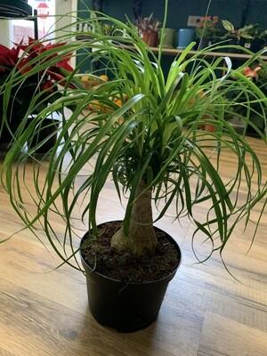 "6"" Ponytail Palm"
