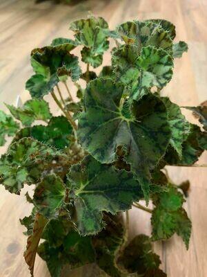 Begonia Kevin Whitecotton