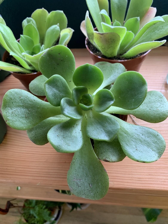 """4"""" Aeonium 'Lily pad'"""