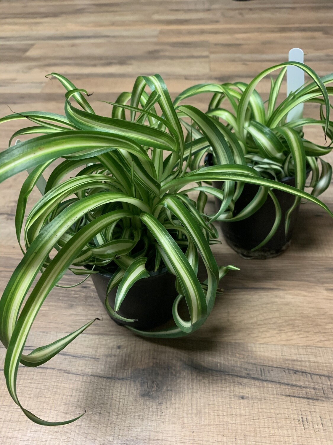 Spider Plant 'Curly'