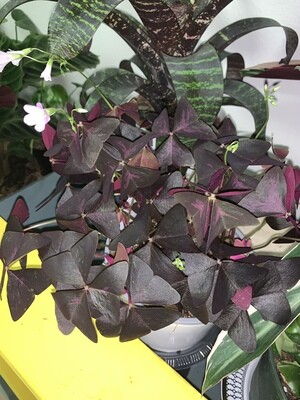 Oxalis 'Purple Shamrock'