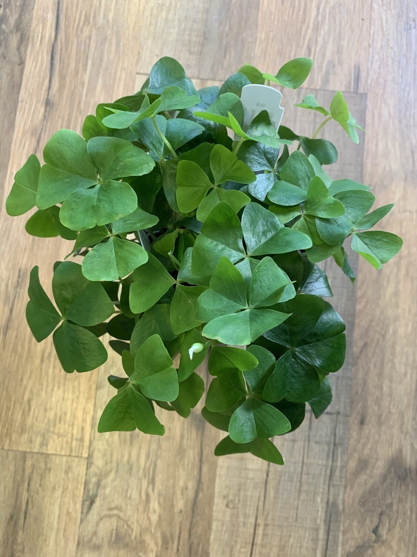 Oxalis 'Shamrock Green'