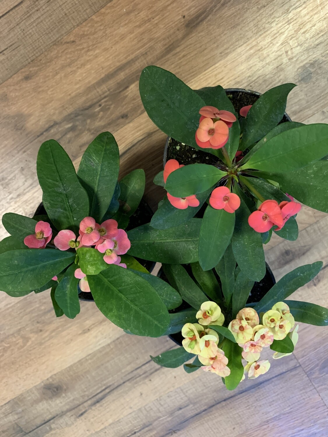 Euphorbia Crown Of Thorns